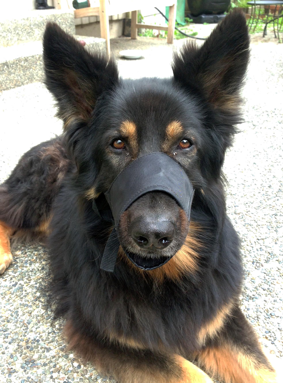 Koa Muzzle