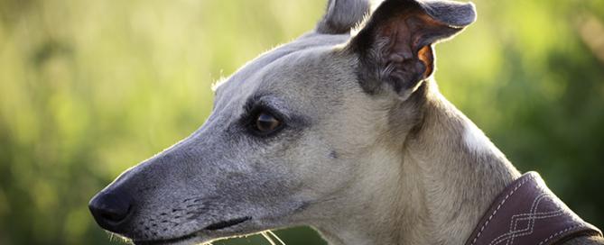 retired racing greyhound